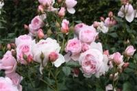 Vườn hồng (1)