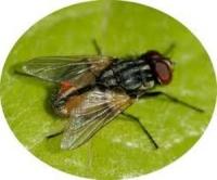 Ruồi đực, ruồi cái
