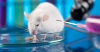Loại bỏ thành công HIV khỏi bộ gene của chuột